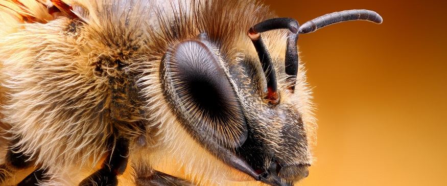 Bees and eye sight - How do bees see?