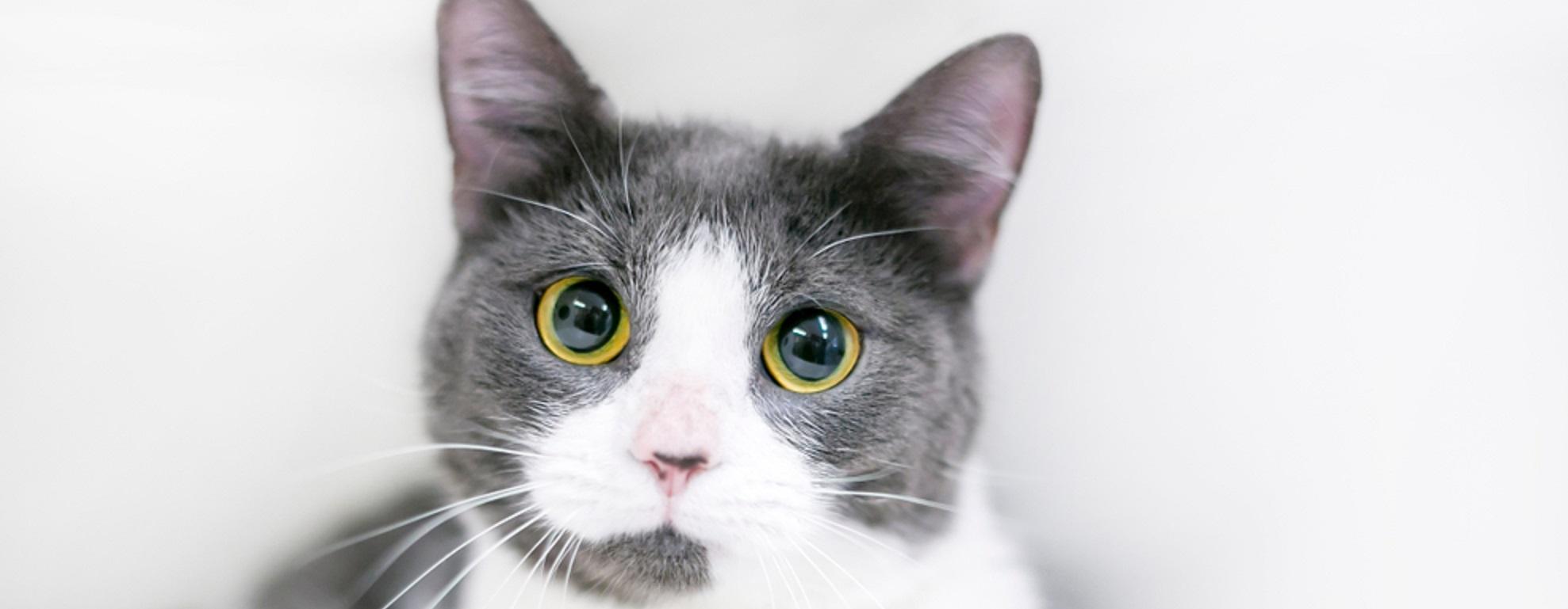 A cat with big pupils