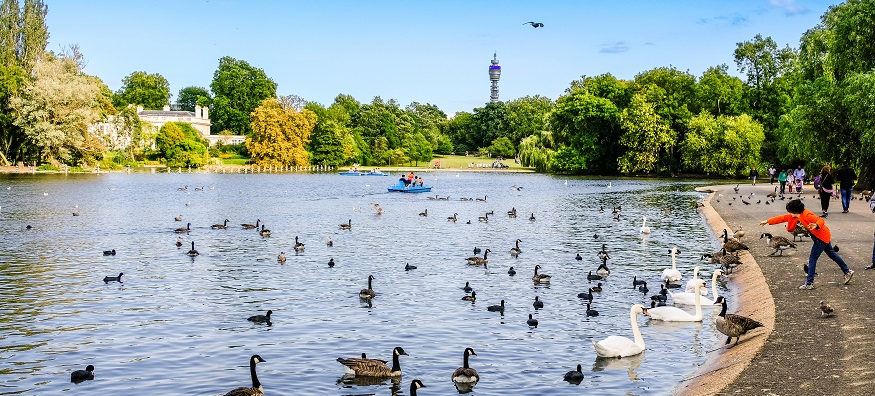 a boy feeding the swans at Regents Park in London