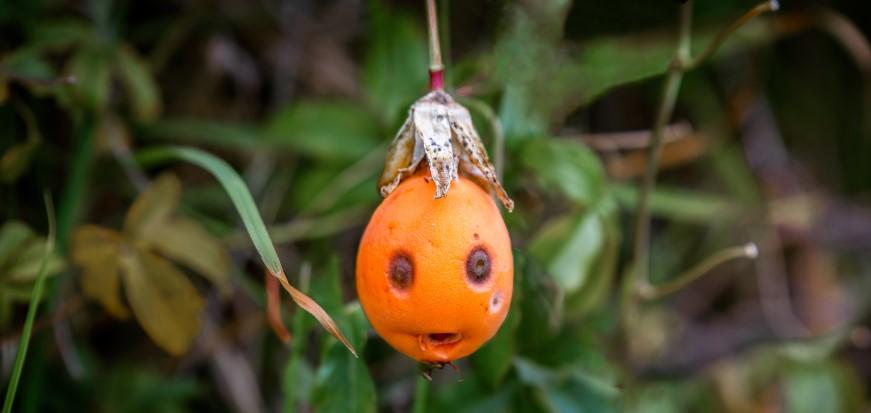 kiwi fruit faces